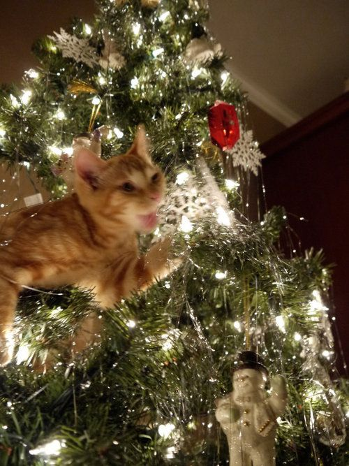 Cat In Christmas Tree Pictures Wallpapers