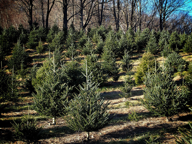 Christmas Tree Farm Ma Pictures Wallpapers