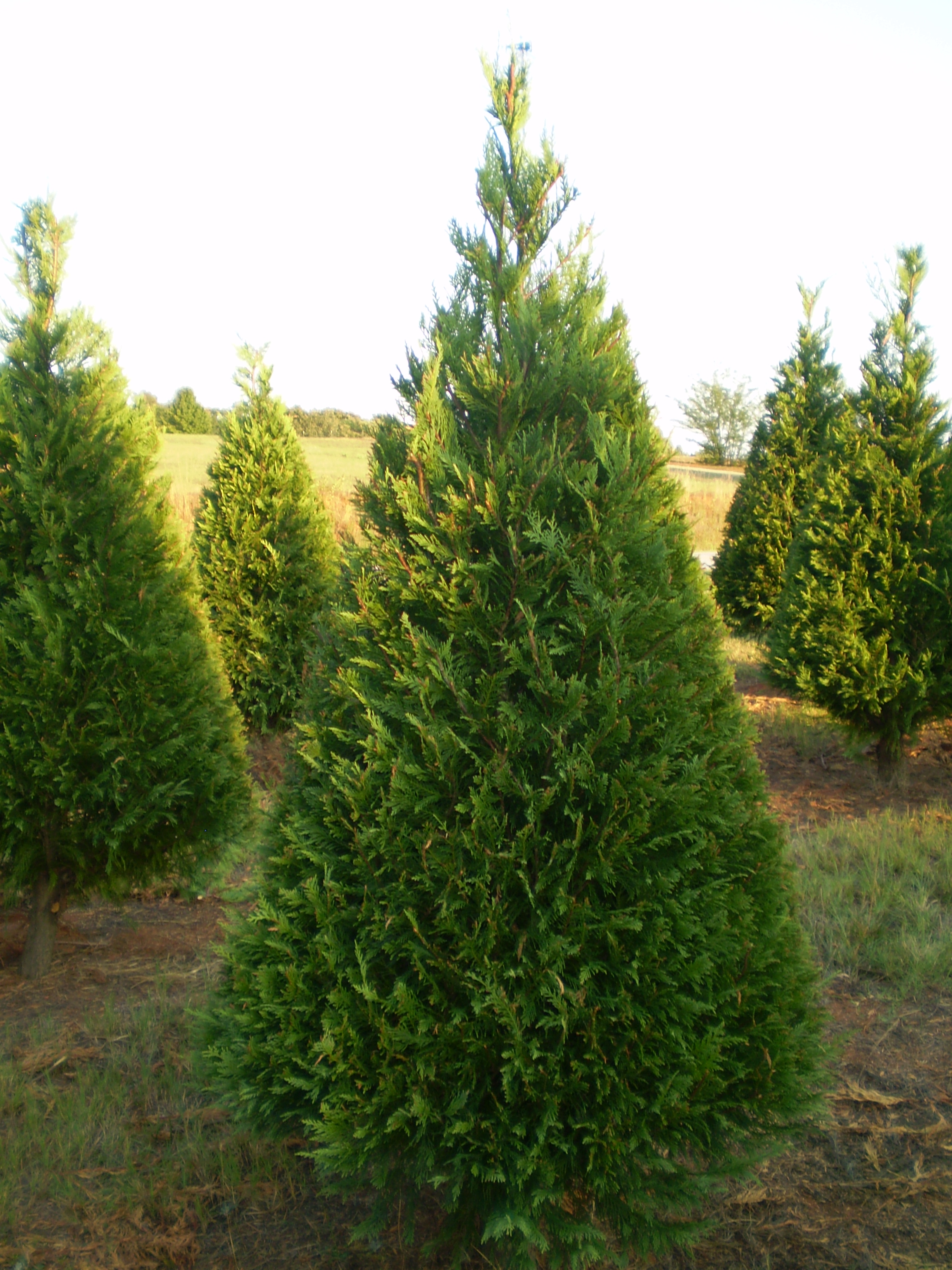 Christmas Tree Farms In Virginia Pictures Wallpapers