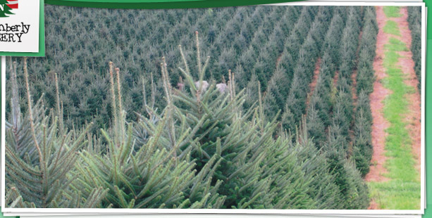 Nc Christmas Tree Farms Pictures Wallpapers