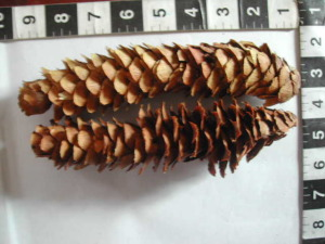 pine cone christmas crafts Dlqe