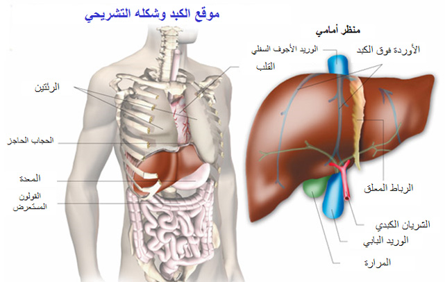 Lesions On The Liver Healthy Liver And Cancer Pictures Wallpapers