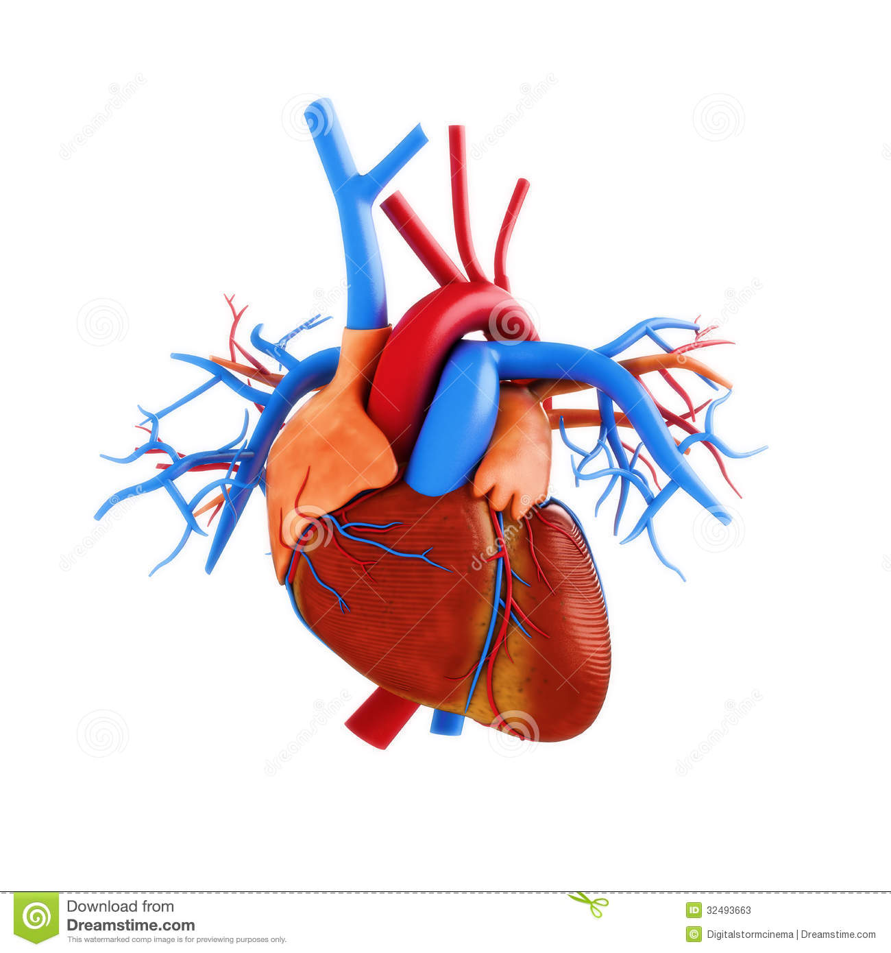 Anatomy Of Human Heart Pictures Wallpapers