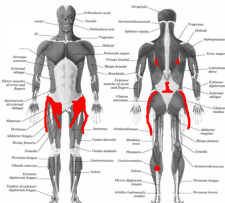 Anatomy Of The Human Hip Pictures Wallpapers