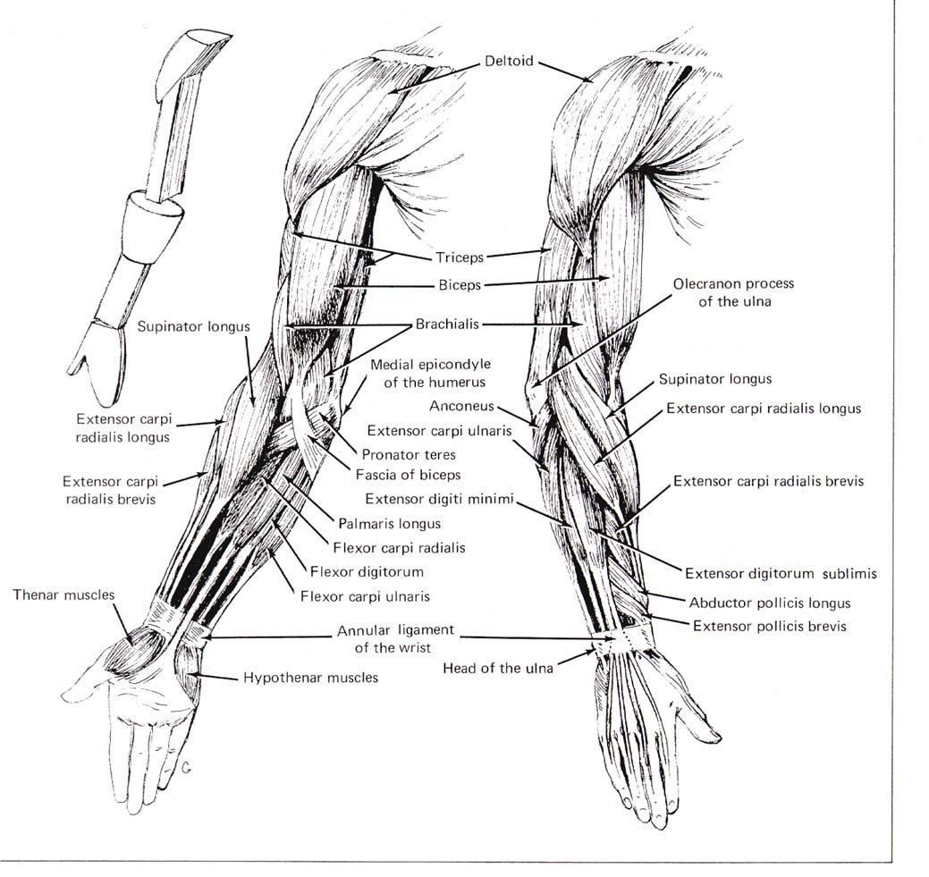 Anatomy Of Arm Muscles Pictures Wallpapers