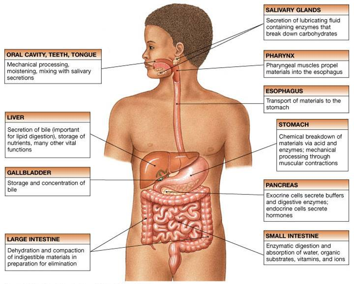Digestive Physiology Pictures Wallpapers