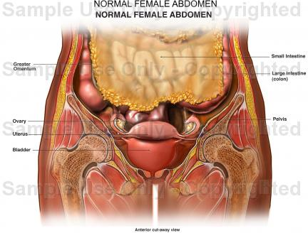 Female Abdominal Anatomy Pictures Pictures Wallpapers