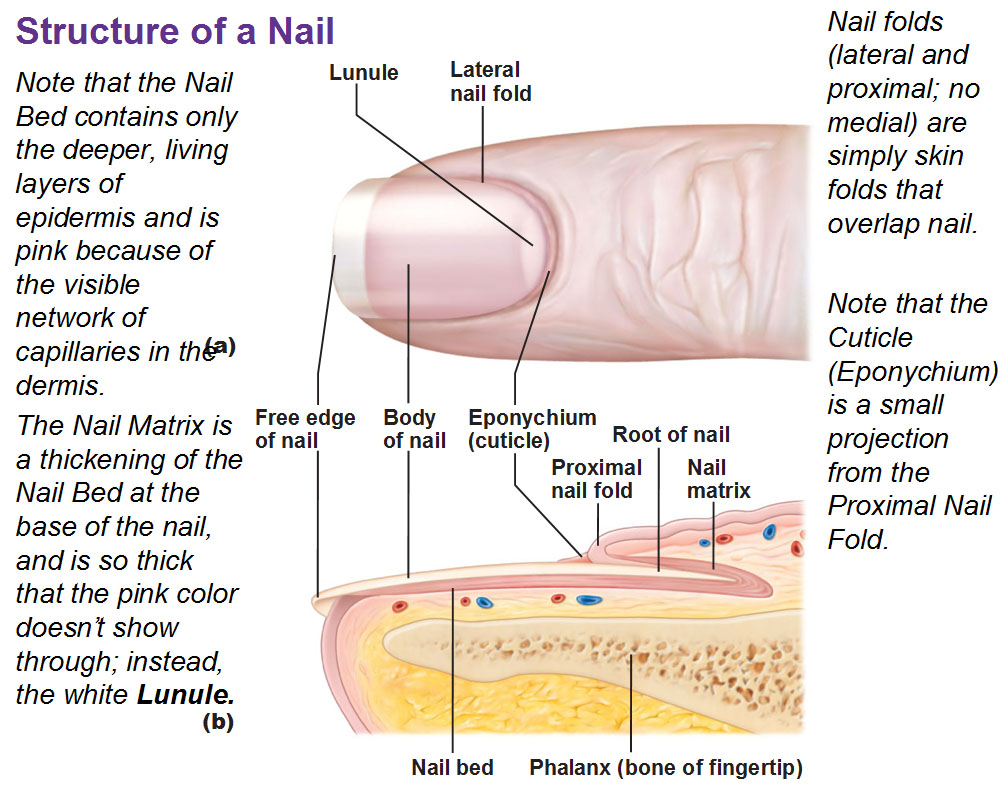 Function Of Nails In Integumentary System Pictures Wallpapers