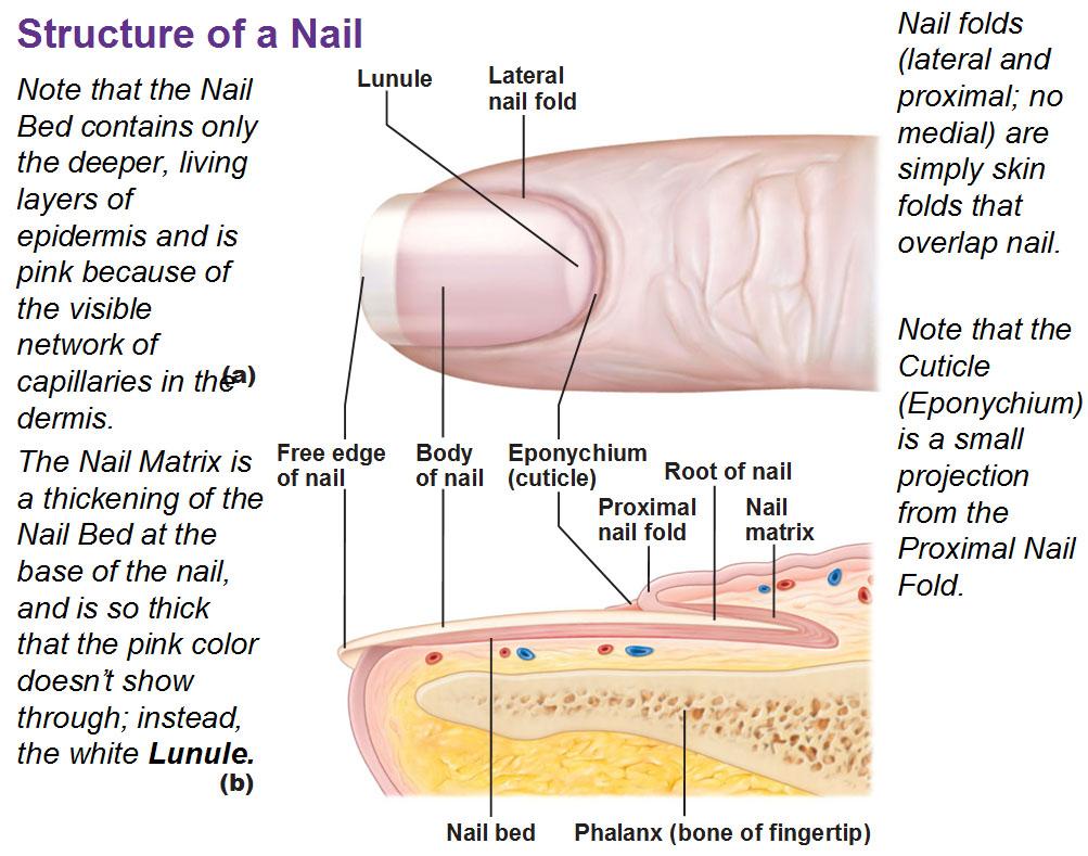 Diagram of nail anatomy