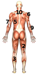 Human Body Muscle Groups Pictures Wallpapers