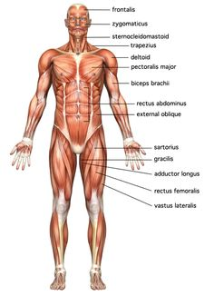 Human Body System Pictures Pictures Wallpapers
