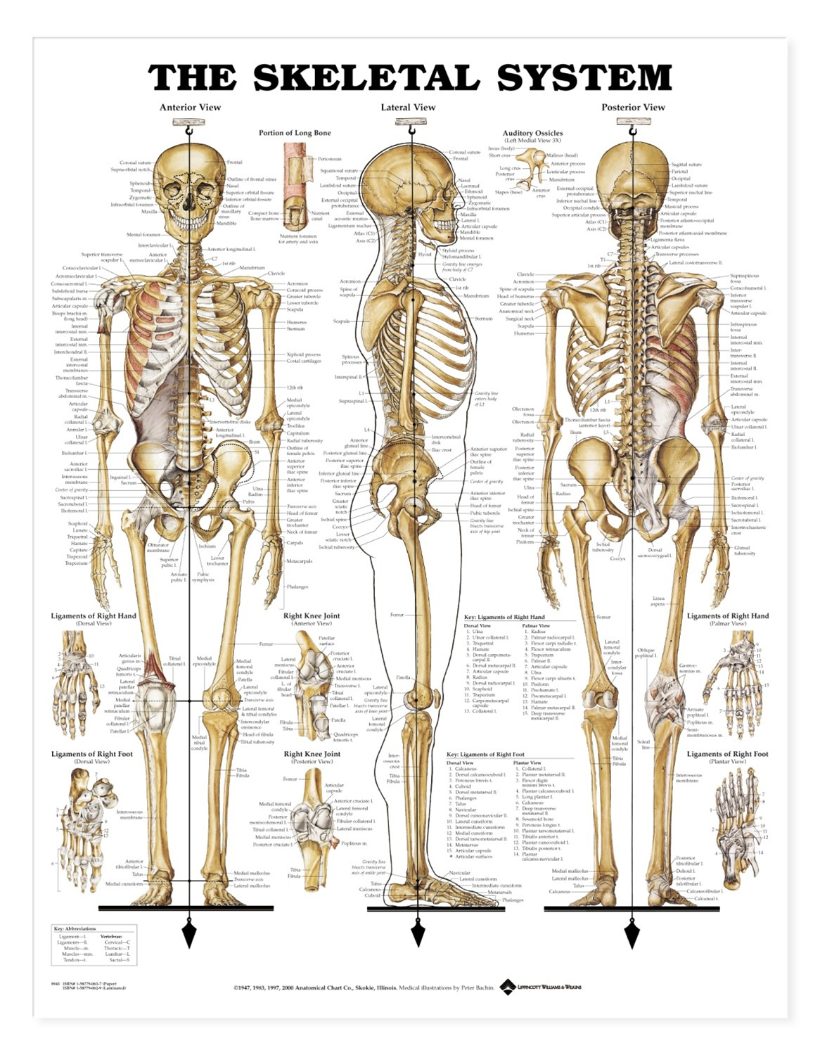 Human Bone Chart Pictures Wallpapers