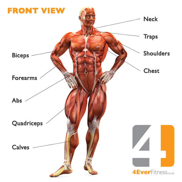 Images Muscles Human Body Pictures Wallpapers