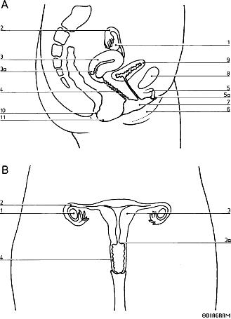 Images Of The Female Reproductive System Lafqfxyv