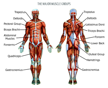 Major Muscles Of The Body Diagram Pictures Wallpapers