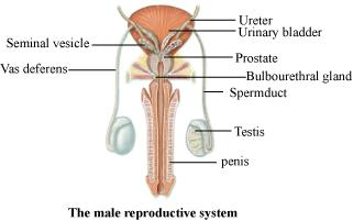 Male Reproductive System Labeled Pictures Wallpapers