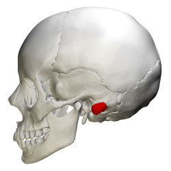 Mastoid Process Function Pictures Wallpapers