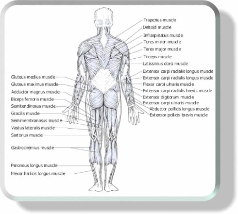 Muscle Anatomy Lower Back Pictures Wallpapers