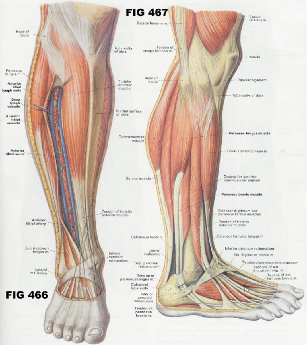 Muscle Anatomy Picture Pictures Wallpapers