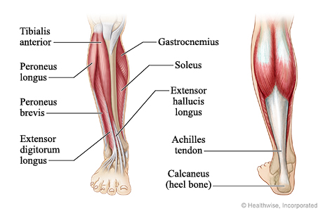 Muscles And Tendons In Leg Pictures Wallpapers