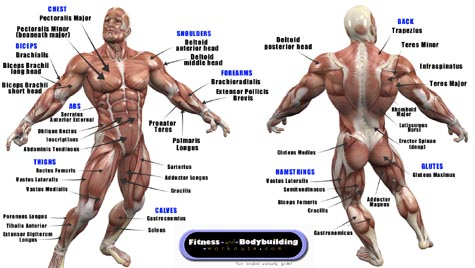 Muscles Chart Anatomy Pictures Wallpapers