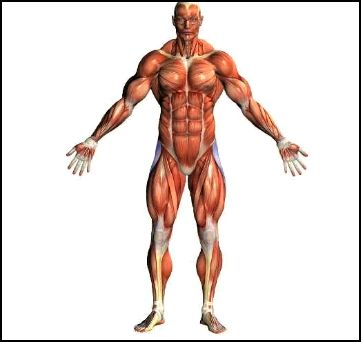 Muscular System Of Human Body Pictures Wallpapers