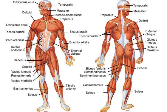 Muscular System Photos Pictures Wallpapers