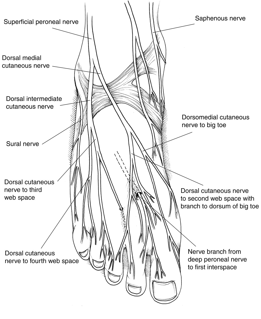 Nerve Anatomy Foot Pictures Wallpapers