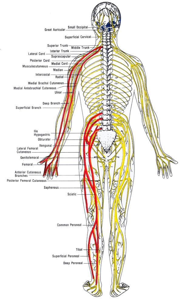 Nerves In Body Pictures Wallpapers