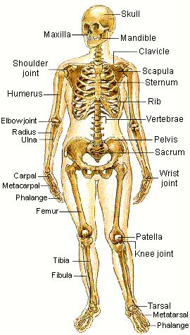 Parts Of The Skeletal System Pictures Wallpapers