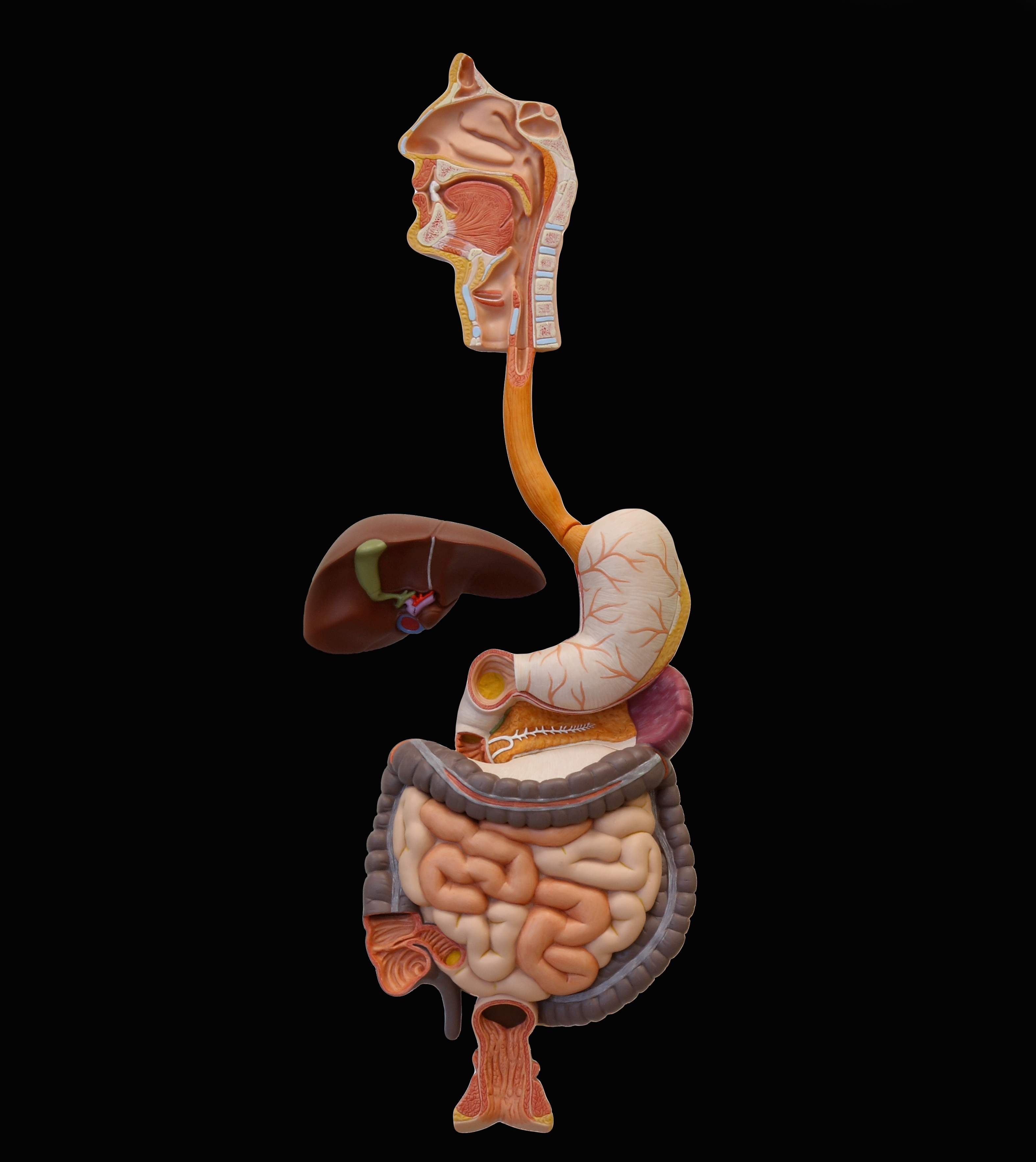 Pictures Of Digestive System Of The Human Body Pictures Wallpapers