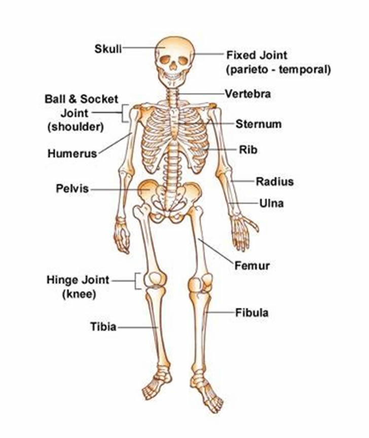 Pictures Of The Human Skeleton Pictures Wallpapers
