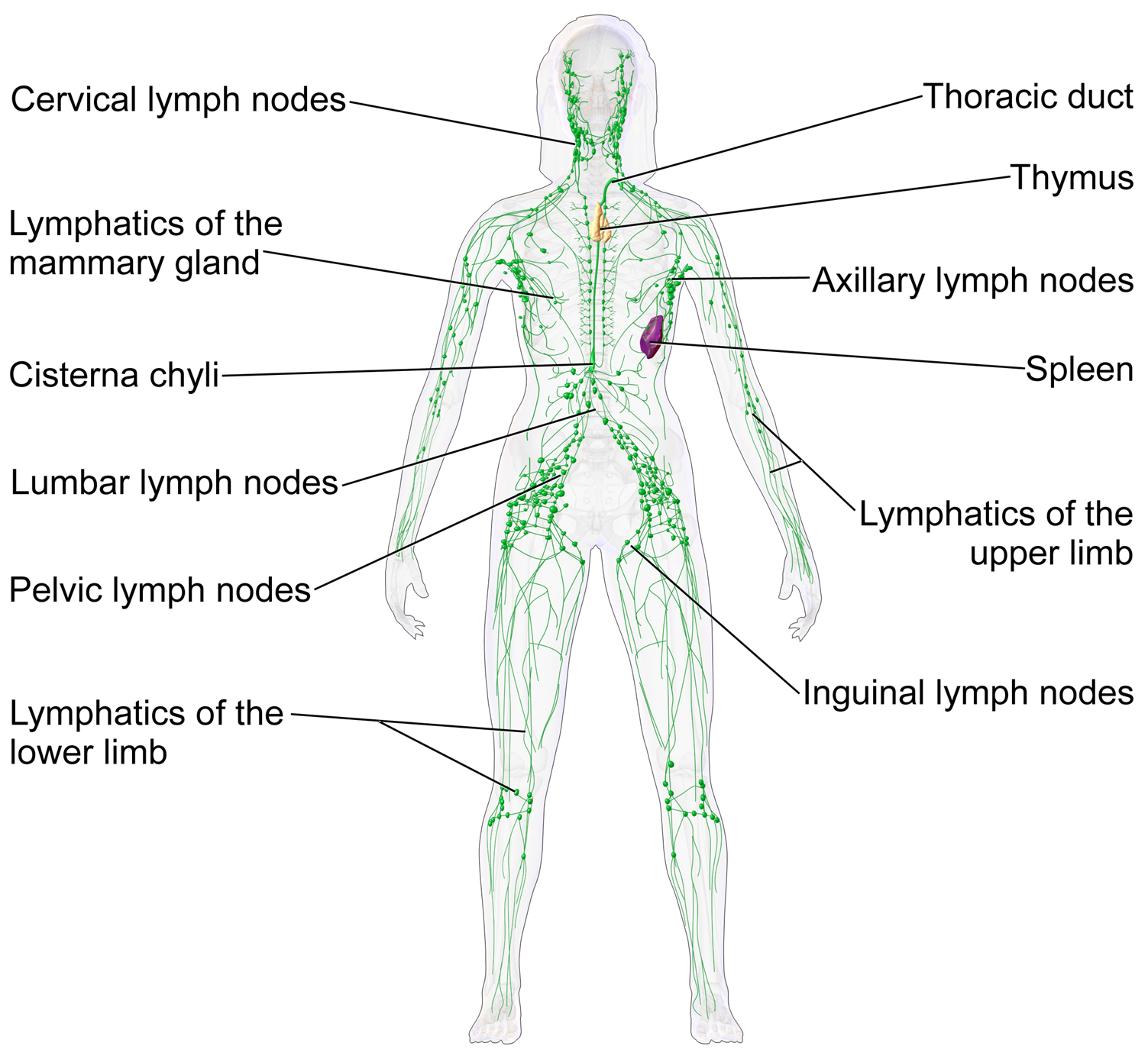 Pictures Of The Lymphatic System In The Body Pictures Wallpapers