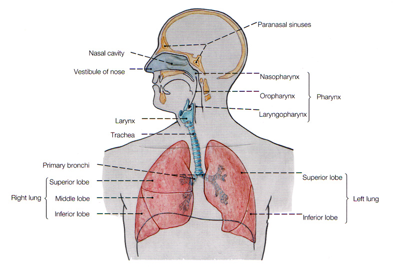 Simple Respiratory System Diagram Pictures Wallpapers