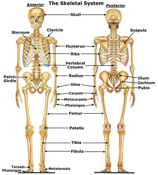 Skeletal Human Body Pictures Wallpapers