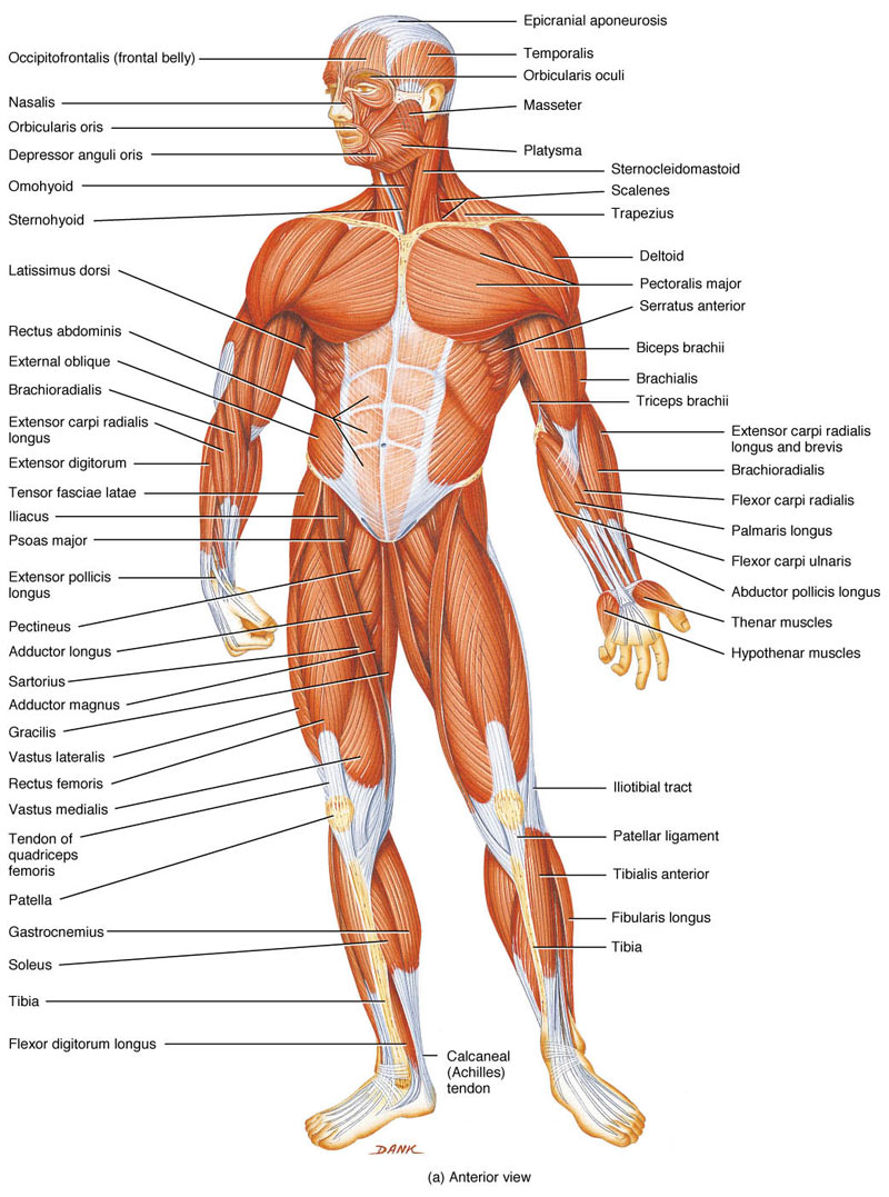 The Muscles In The Human Body Pictures Wallpapers