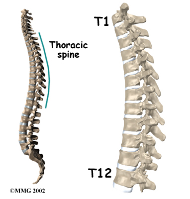 Thoracic Spine Anatomy Pictures Pictures Wallpapers