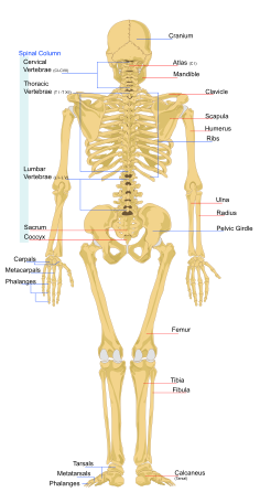 What Bones Are In Your Arm Pictures Wallpapers