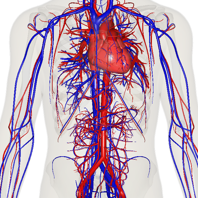 Www Cardiovascular System Pictures Wallpapers