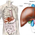 Liver Location On Body Healthy Liver And Cancer Pictures Wallpapers