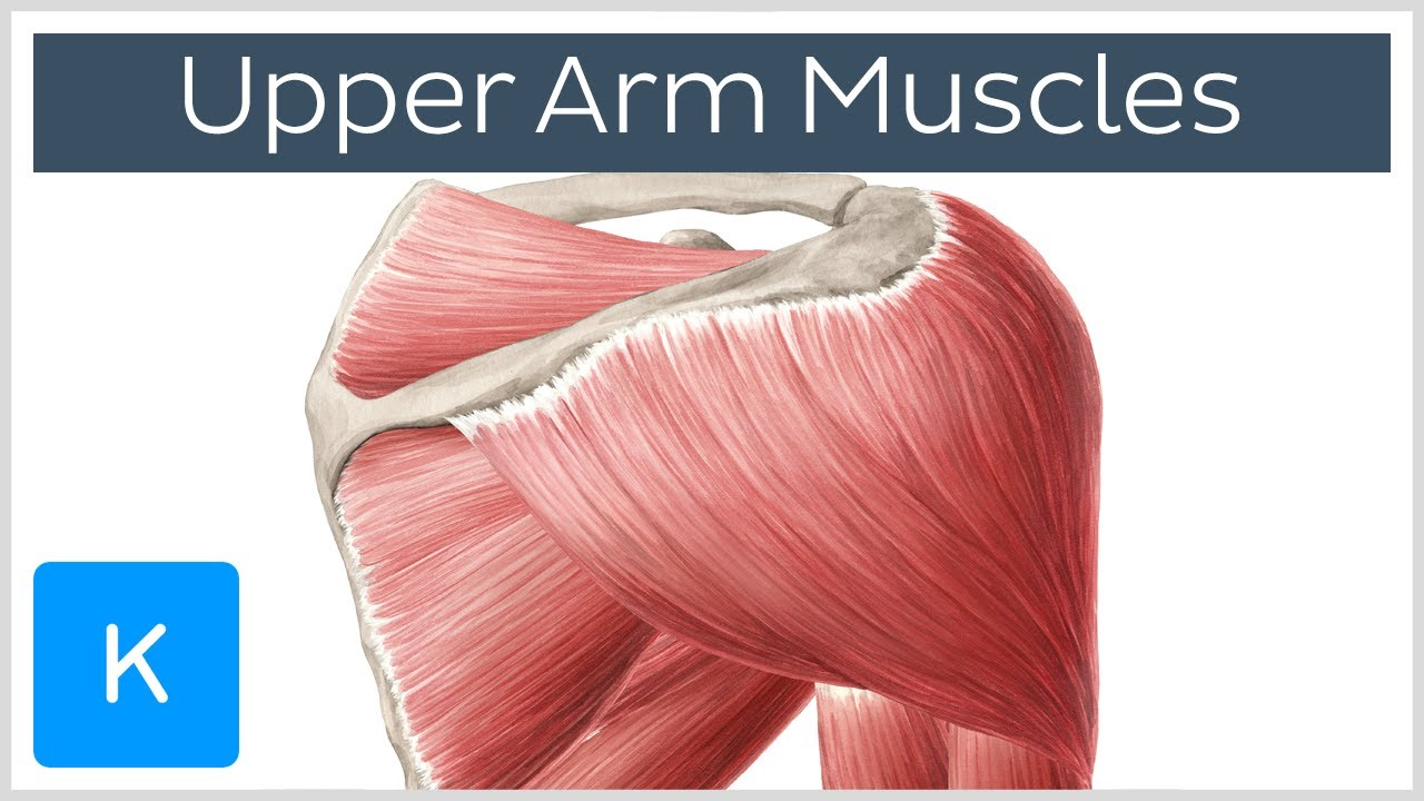 Shoulder Muscles Names Pictures Wallpapers