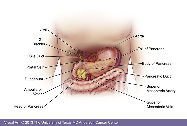 Where Is The Pancreas Located On The Body Pictures Wallpapers