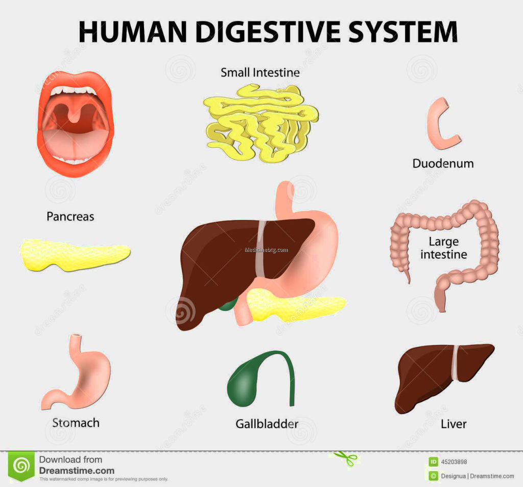Digestive System Organs For Kids Pictures Wallpapers