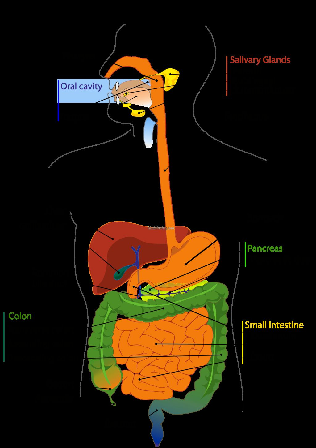 Digestive System Organs In Order Pictures Wallpapers