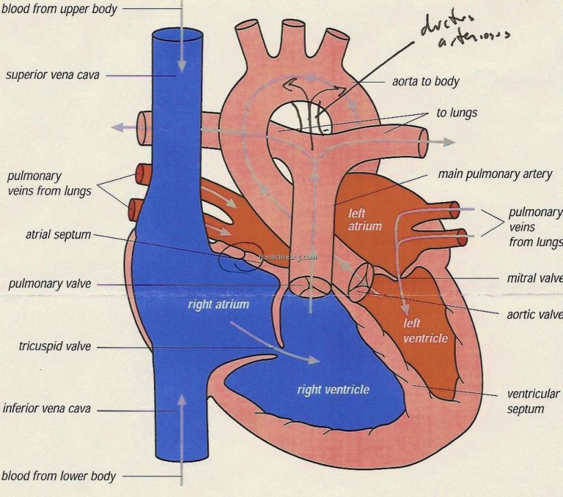 Heart Transplant Diagram Pictures Wallpapers