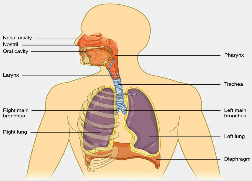 Respiratory System Diagram Pictures Wallpapers
