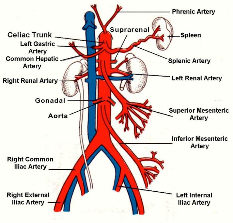 Abdominal Aorta Pictures Wallpapers