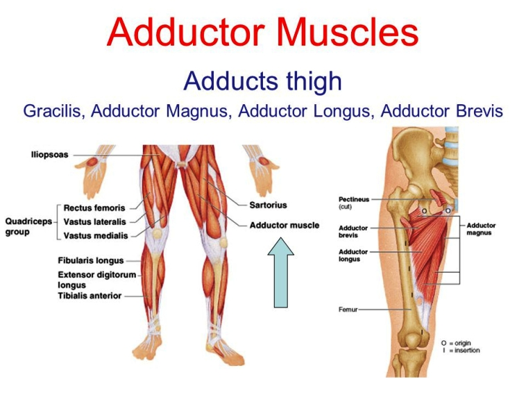 Adductor Muscles Pictures Wallpapers