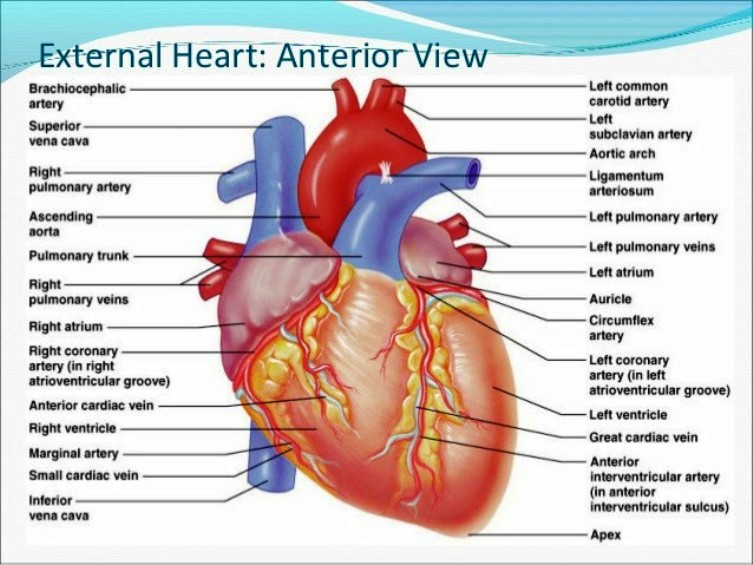 Anatomical Heart Pictures Wallpapers