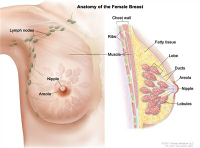 Anatomy Of The Female Breast 18882
